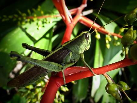 Macro of a grasshopper