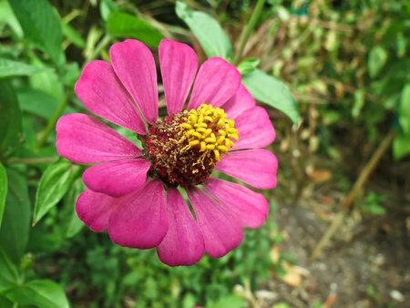 Pink zinnia flower Stock Photo