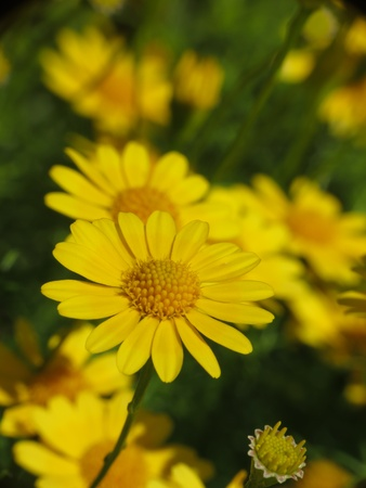 Butterweed  Senecio glabellus  Stock Photo