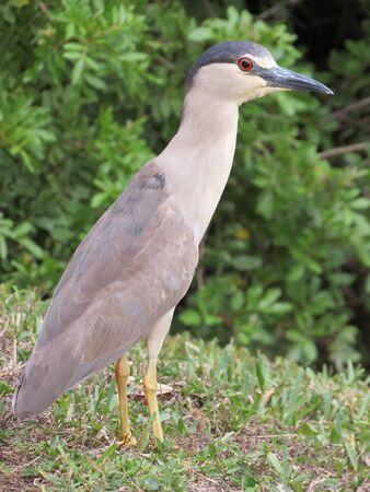 ardeidae: black crowned night heron Stock Photo