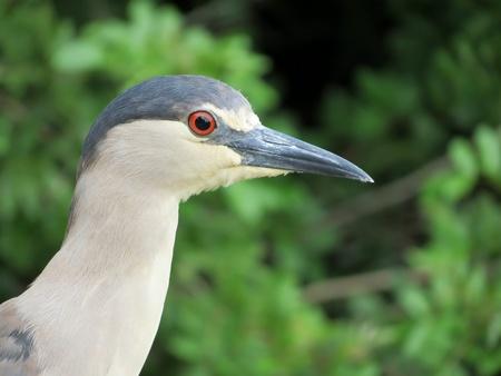black crowned night heron Stock Photo