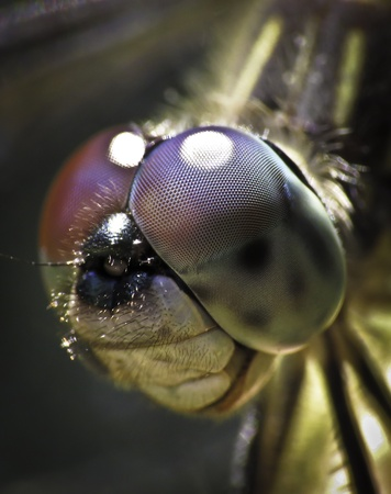 Dragon fly face close-up Stock Photo