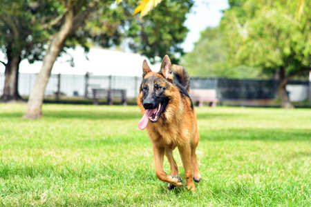 Happy German Shepherd puppy running at the park Stock Photo
