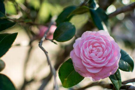 Pink Camellia Blossom Stock Photo