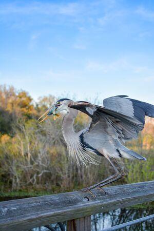 Great Blue Heron Feeding on a sun fish