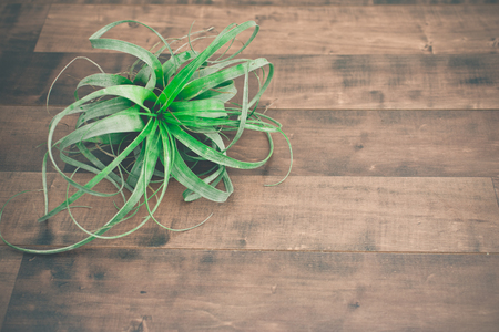 tillandsia: Air plant Tillandsia, on a isolated wood background Stock Photo