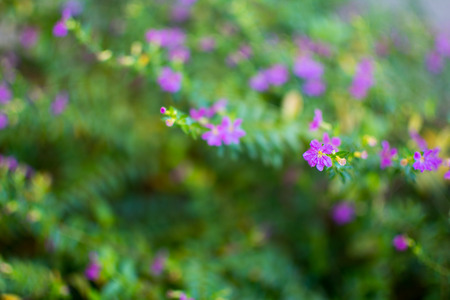 Cuphea hyssopifolia, Mexican Heather, Elfin Herb or False Heather.