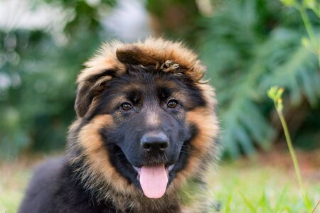 German shepherd puppy Stock Photo