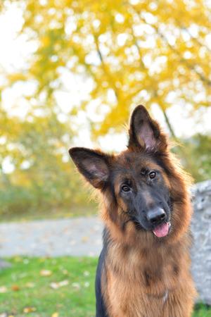 Long haired german shepherd dog