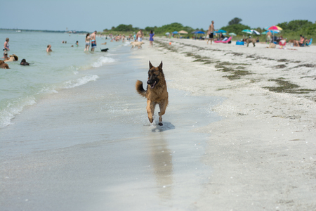 German Shepherd Running On Beach