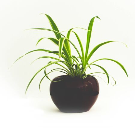 Spider plant in a red pot