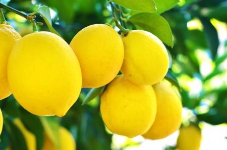lemon tree: Limones Foto de archivo