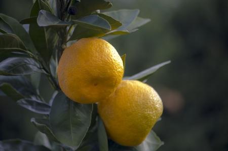 mandarins: mandarins