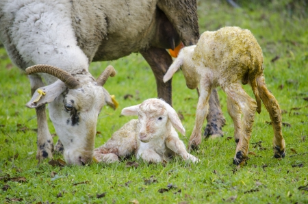 placenta: Newborn lambs and their mother
