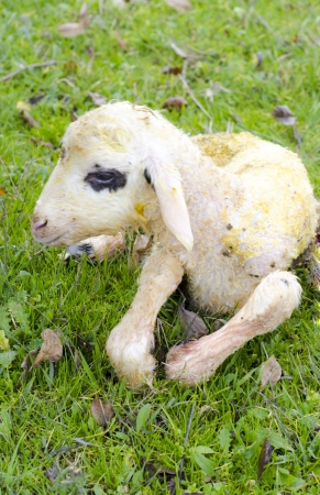 Newborn lamb Stock Photo - 17193388