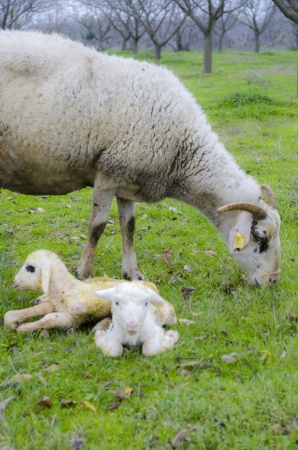 Newborn lambs with their mother Stock Photo - 17193397