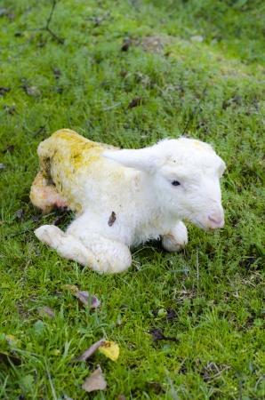 Newborn lamb Stock Photo - 17193434