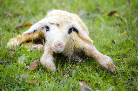 Newborn lamb Stock Photo - 17193399