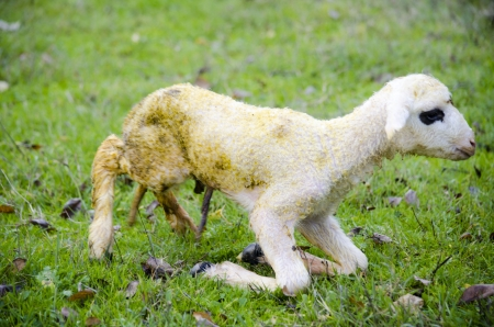 umbilical cord: Newborn lamb