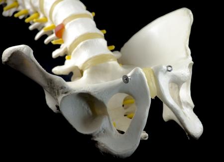 vertebral column: Vertebral Column