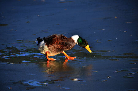 bounded: A duck walk on ice bounded lake