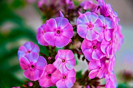 arise: Pink Flowers