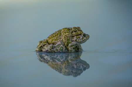 mottle: Mating frogs Stock Photo