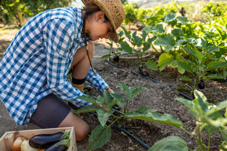 Latin young woman in straw hat and blue plaid shirt kneeling picking aubergines in the vegetable garden with a wooden box Banque d'images