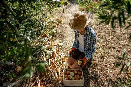 Young woman in straw hat and kneeling plaid shirt and orange gloves picking onions in the shade of a tree and depositing them in a wooden box Banque d'images