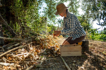 Young woman in straw hat and plaid shirt kneeling picking onions in the shade of a tree and depositing them in a wooden box Banque d'images