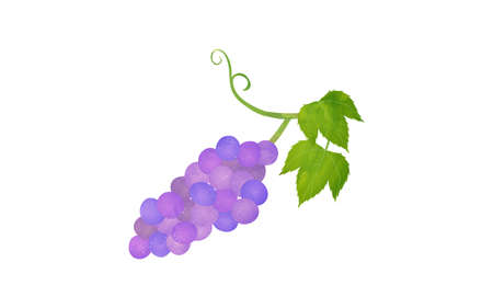 Illustration of ingredients, transparent watercolor style of grapes