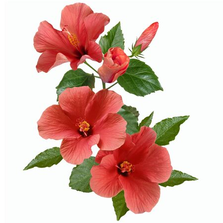 bright large flowers and buds of pink hibiscus isolated