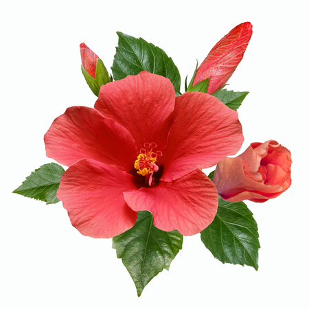 large bright flowers, buds and leaves of pink hibiscus isolated on white background