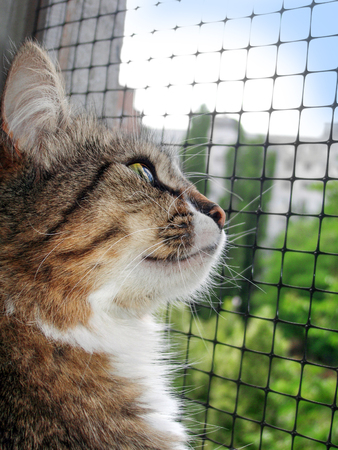 Beautiful home striped cat looking out the window Фото со стока