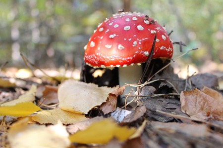 red mushroom amanita fly agaricus in the autumn forest