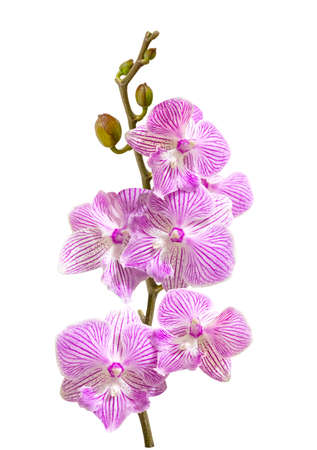 a branch of pink orchid flowers and buds isolated