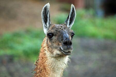 alpaca animal: Head of an alpaca animal