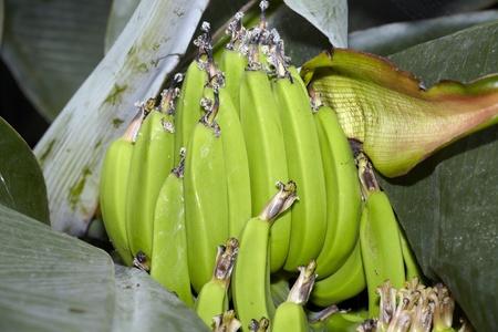 unripe: Unripe bananas to plant
