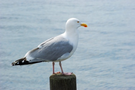 stake: Seagull on wodden stake Stock Photo