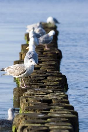 groyne: Seagull on groyne