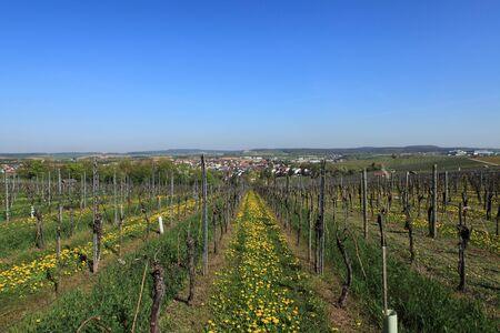 Beautiful rows of grapes