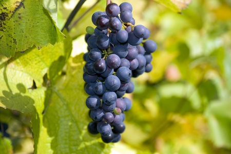 Red Wine Grapes on the Vine photo
