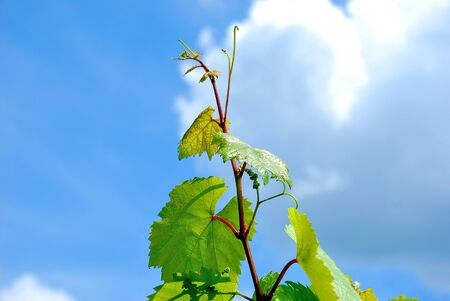 Young wine sprout in front of blue sky Stock Photo - 11492082