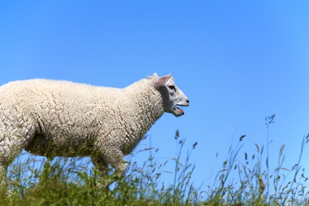 bleating: A sheep bleating and running on the dyke