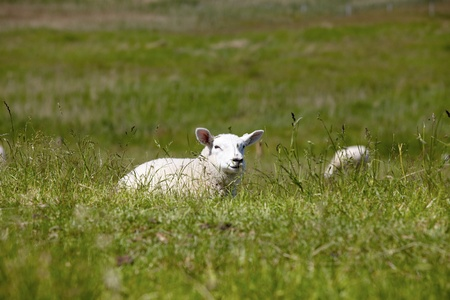 A lamb lying in the grass on a dike photo