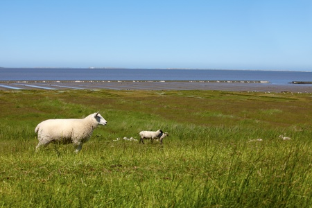 Some sheep on a dyke on the northern German Wadden Sea photo