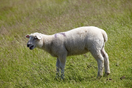 Portrait of a lamb on the green shown on the German North Sea coast photo
