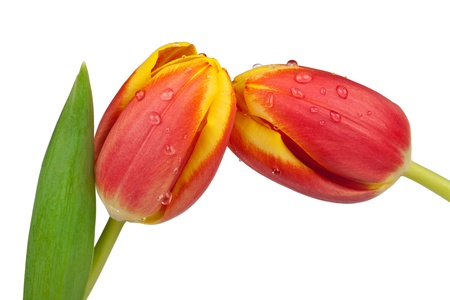 Two spring tulips as close up photo