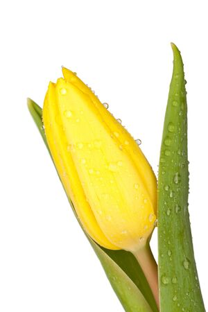 Close up view of a yellow tulip photo