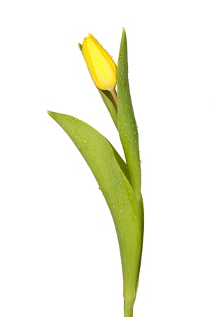Single yellow tulip